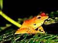 Frog Rhacophorus bipunctatus IMG 0635 04.jpg