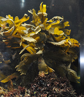 Description de l'image Fucus serratus alive.jpg.