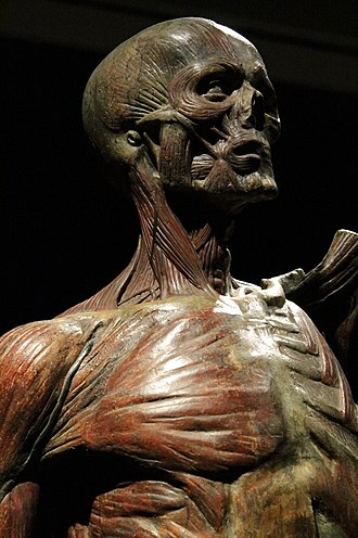 John Hunter (surgeon) - Full size anatomical model (detail) by Dr John Hunter, Hunterian Art Gallery, Glasgow