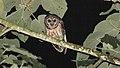Fulvous Owl (Strix fulvescens) (5957075195).jpg