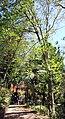Funchal Jardim Monte Castanea sativa 2016 2.jpg