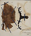 Fungi agaricus seriesI 004.jpg