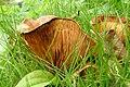 Fungi sp. (7914531096).jpg