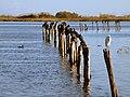 Furiani Cormorans noirs aigrette étang.jpg