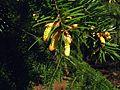G20090405-4259--Abies bracteata (cones)--RPBG (32232473145).jpg