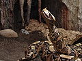 Gaboon Viper (rhinoceros) 03.jpg