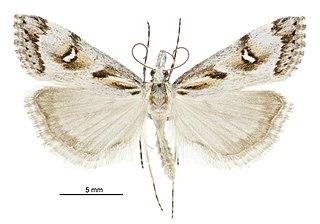 <i>Gadira leucophthalma</i> species of insect