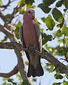 Galah ( Eolophus roseicapillus) - Flickr - Lip Kee (1).jpg