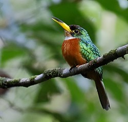 Galbula albirostris - Yellow-billed jacamar (male).jpg