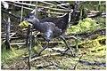Gallinule poule-d'eau juvénile (37167565151).jpg