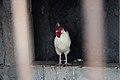 Gallo en Mancha Blanca, Lanzarote.jpg