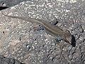Gallotia caesaris EH2.jpg