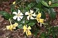 Gardenia jasminoides s3.JPG