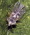 Gargaphia solani (cropped).jpg