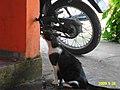 Gato bebe água - panoramio.jpg