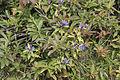 Gentiana asclepiadea - Willow gentian 03.jpg
