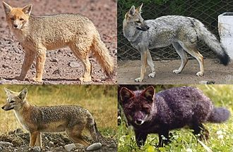 South American fox - Image: Genus pseudalopex