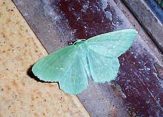Large emerald - Image: Geometra papilionaria 1