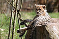 Gepardkilling1 (Acinonyx jubatus).jpg