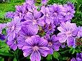 "Geranium ""Stephanie"" (G.peloponnesiacum x G.renardii) - geograph.org.uk - 1322555.jpg"