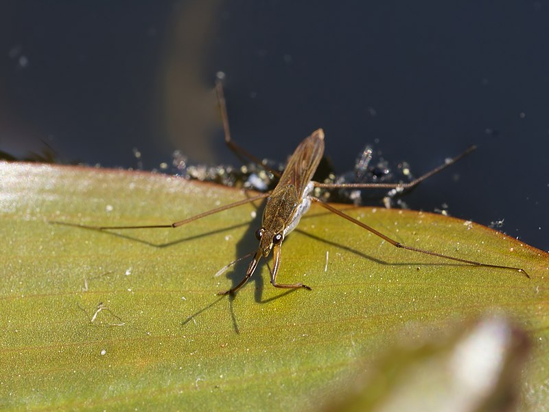 Water strider, at at a pond in De Haan, Belgium.