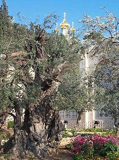 Gethsémani, oliveraie au pied du mont des Oliviers