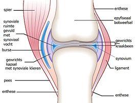 overgang spieren en gewrichten