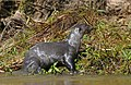 Giant Otter (Pteronura brasiliensis) with a Vermiculated Sailfin Catfish (Pterygoplichthys disjunctivus) (48413963221).jpg