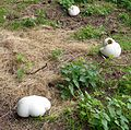 Giant puffballs. Langermannia giganteas - Flickr - gailhampshire.jpg