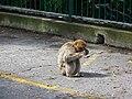 Gibraltar Barbary Macaque 2.jpg