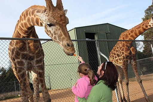 Giraffa camelopardalis -Taronga Western Plains Zoo, near Dubbo, New South Wales, Australia-8a (1)
