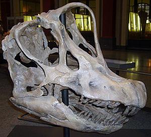 Giraffatitan - Skull cast at the Berlin's Natural History Museum