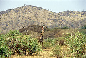 Lake Manyara National Park - A Masai giraffe at Lake Manyara National Park.