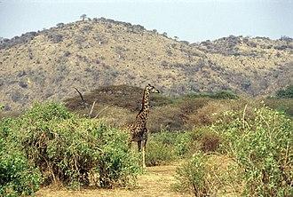 Lake Manyara National Park - A Masai giraffe at Lake Manyara National Park.