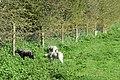 Glastonbury. Tor. Eastern meadow. Sheep 5.jpg