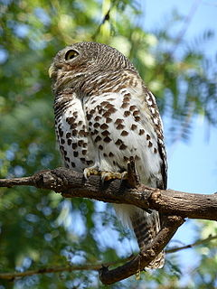 African barred owlet species of bird