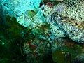 Glyptauchen panduratus Goblinfish P1021069.JPG