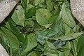 Gnetum africanum Leaves (Eru ou Okok).jpg