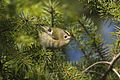 Goldcrest - Appenines - Italy D5A3535 (24161844946).jpg
