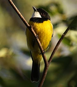 Golden Whistler male kobble08.jpg