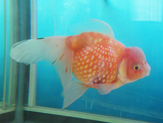 Carp - An unusual goldfish breed: An oranda-type variegated pearlscale.