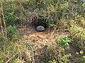 Gopher Tortoise Calling it a Day (5961121220).jpg