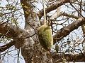 Gorée - Pain de singe dans un baobab (2).JPG