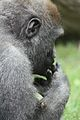 Gorilla gorilla at the Bronx Zoo 016.jpg