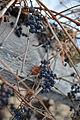 Grapevine (Vitis sp.), Saskatoon.jpg