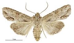 240px graphania mollis female