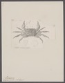 Grapsus pictus - - Print - Iconographia Zoologica - Special Collections University of Amsterdam - UBAINV0274 094 05 0002.tif