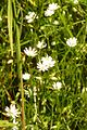 Gras-Sternmiere Kohlbruck.JPG