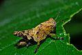 Grasshopper Nymph (6933828146).jpg