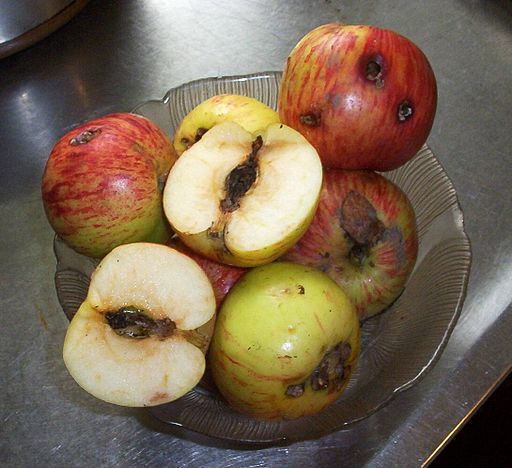 Gravenstein apples with codling moth